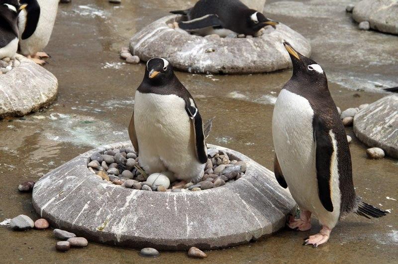 Пингвины-геи «усыновили» чужое яйцо: птенцу придется расти в однополой семье