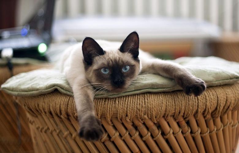 Тайская кошка: цена, характер, уход, питание, содержание
