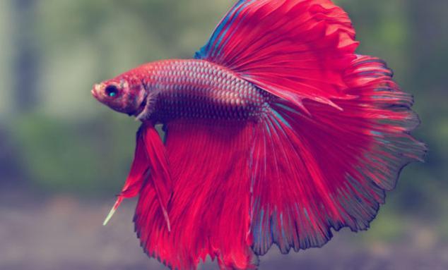 Рыбка петушок: уход, содержание, цена