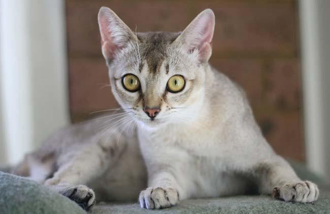Бурмилла: описание породы, уход, питание, характер, цена котят