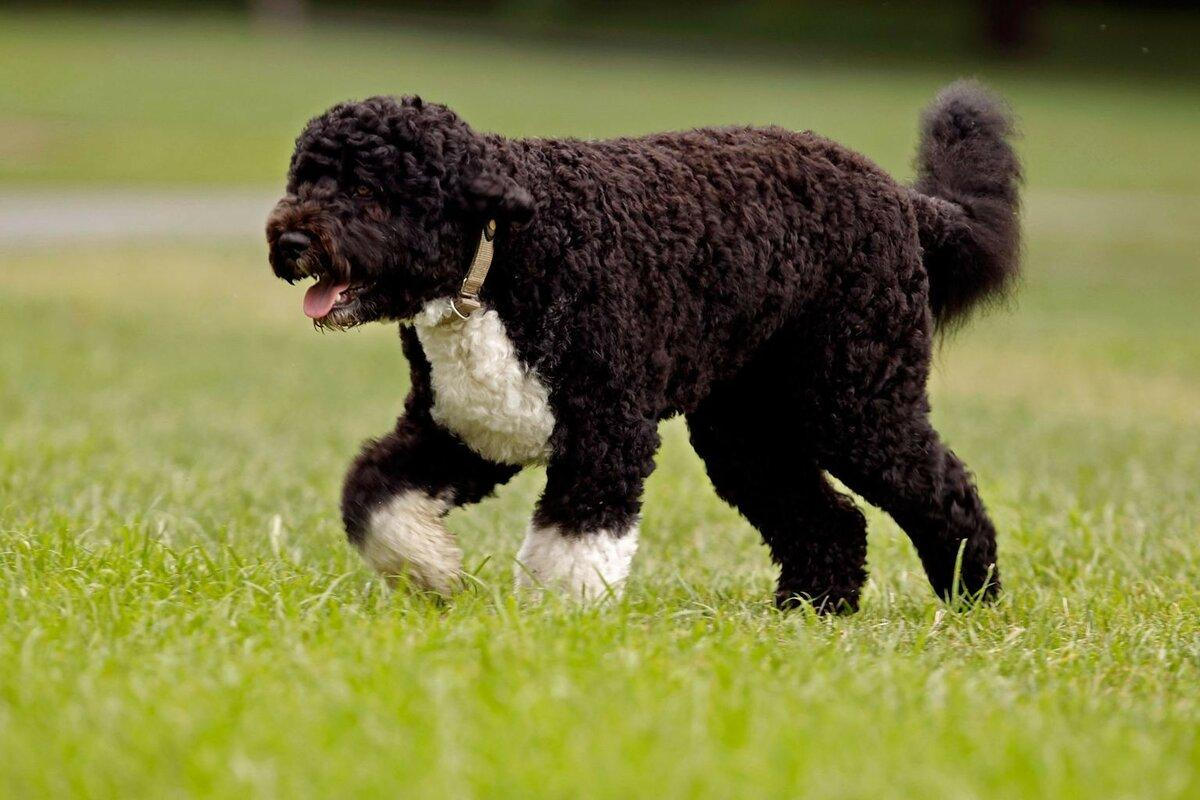 Португальская водяная собака (вассерхунд): цена, щенки, питомники, описание породы, уход и содержание
