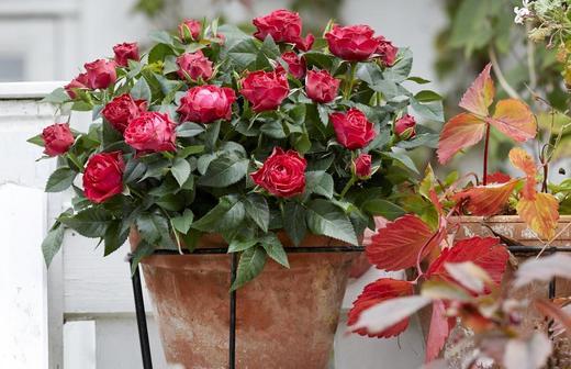Комнатная роза: виды, как пересадить, как правильно ухаживать