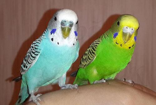 Волнистый попугай: сколько живут, чем кормить, какую клетку купить, как научить говорить, уход и содержание