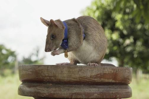 Гамбийская крыса: описание породы, содержание, сколько живут, цена