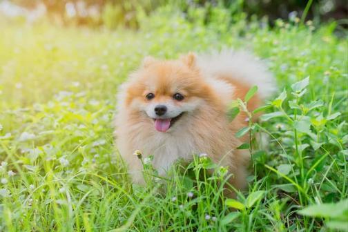 Померанский шпиц: щенки, уход за шерстью, питание, здоровье, цена