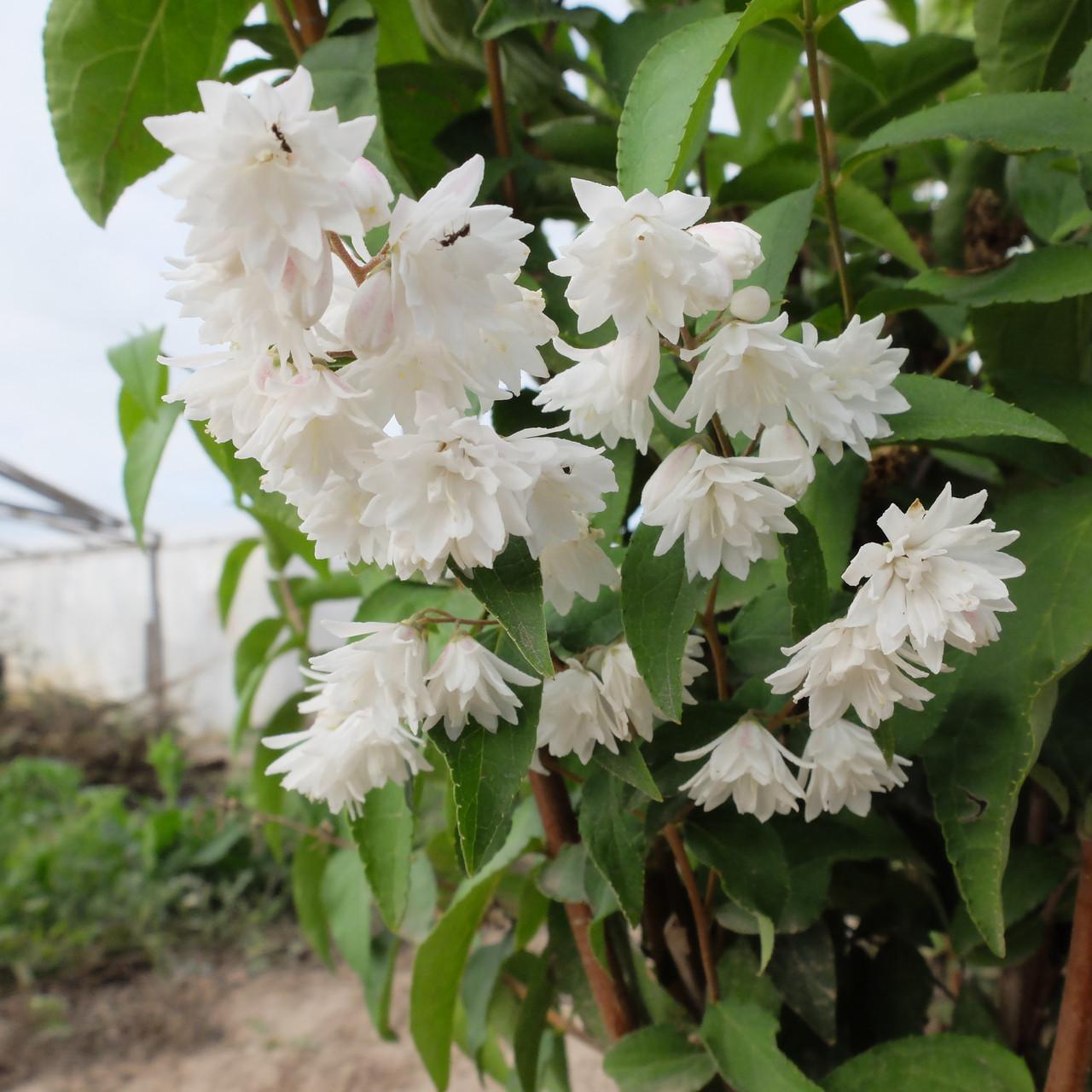 Декоративное растение Дейция шершавая махровая