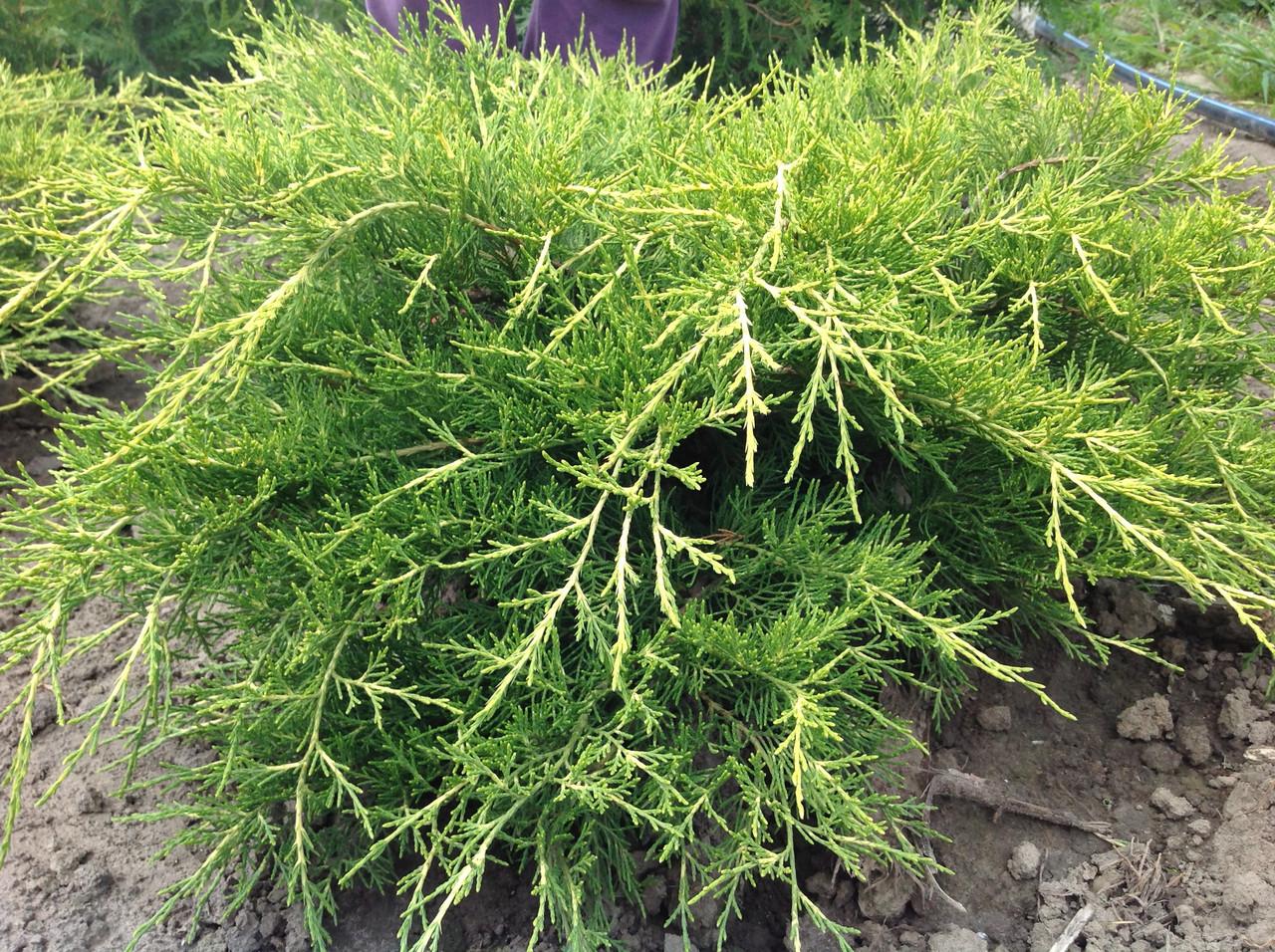 Можжевельник китайский Juniperus chin Kuriwao Gold