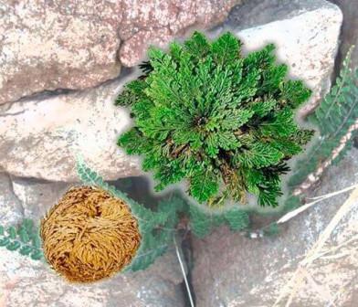 Быстрое растение Селагинелла