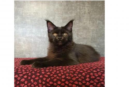 Черный котенок мейн-кун из питомника Альянс