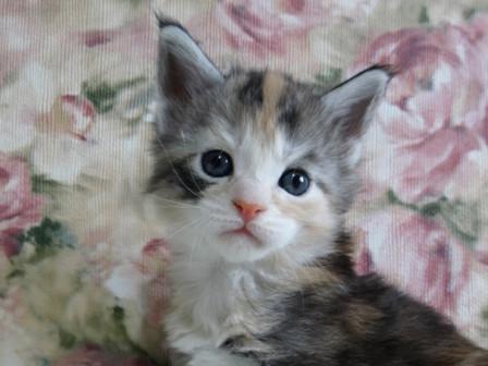 Мейн Кун . Кошечка