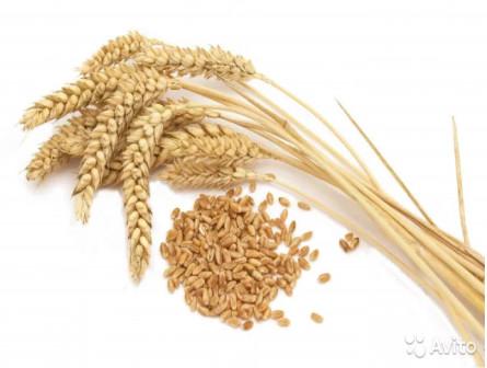 Пшеница ячмень