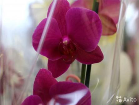 Орхидеи Фаленопсис Малиновые 60-70см 91712