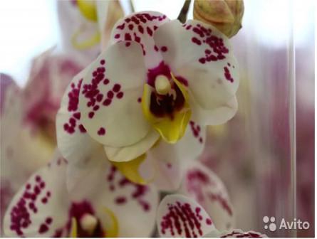 Орхидеи фаленопсис 1-2 цветоноса Белые 91714