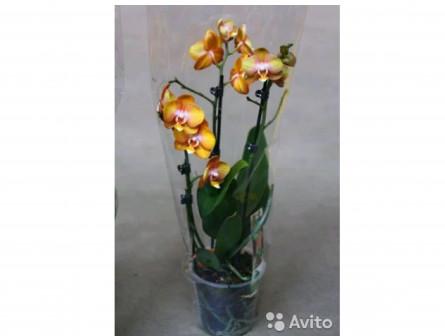 Орхидея Фаленопсис Рыжая 3 Цветоноса 40-50см 91716
