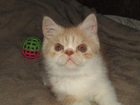 Экзотические кш котята 3 месяца