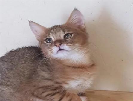 Котик чаузи ф1