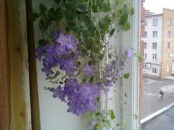 Цветок Колокольчик голубой (ЖЕНИХ)