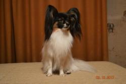 щенок папийона (девочка) 2 месяца
