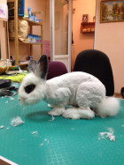 Стрижка кроликов на дому в Балаково
