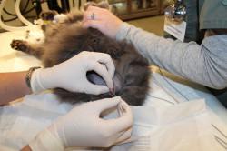 Катетеризация котов (вывод мочи) в Балаково
