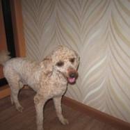 Стрижка собак средних пород на дому в Балаково