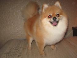 Стрижка собак мини-пород на дому в Балаково