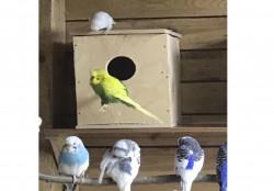Волнистые попугайчики из питомника