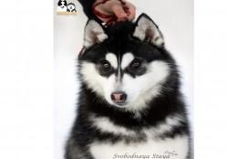 Продается щенок хаски (кобель из питомника)