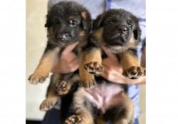 Элитные щенки немецкой овчарки чёрные и чепрачные