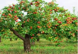 Яблоня 3 летка