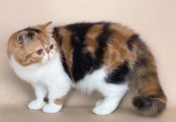 Котята экзотические из питомника