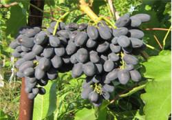 Саженцы винограда Кодрянка