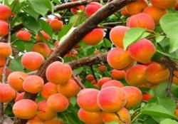 """Саженцы абрикоса """"Харгранд"""" Масловский питомник: http://www.maslovpitomnik.ru/index.php/apricot"""