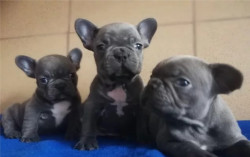 Французский бульдог, щенки