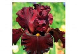 Ирис цветы из нашего питомника