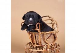 Высокопородный щенок чисто чёрный