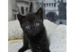 Британские котята чистокровные