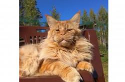 Шикарные котята мейн кун из питомника
