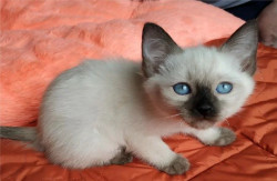 Тайские клубные котята, питомник (сил и блю)
