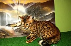 Бенгальский котик из питомника