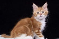 Мейн-кун котята из питомника