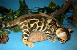 Бенгальские котята для дома и разведения (питомник