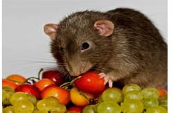 Крыски дамбо-шоколадные