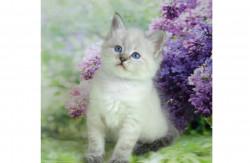Невские маскарадные котята из питомника