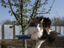 "Котята Мейн - Кун питомник ""Grandioso"""