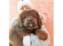 Красные щенки тибетского мастифа