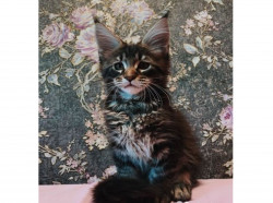 Котята Мейн-Кун питомника «original roots»