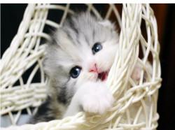 Котята из профессионального питомника