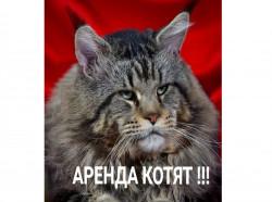 Питомник ASSORTI ANGEL предлагает котят породы мейн-кун в ДОЛГОСРОЧНУЮ (пожизненную) АРЕНДУ