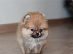 Шпица померанского щенки